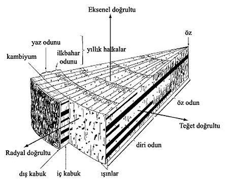 ahşap - ahşabın anatomik yapısı