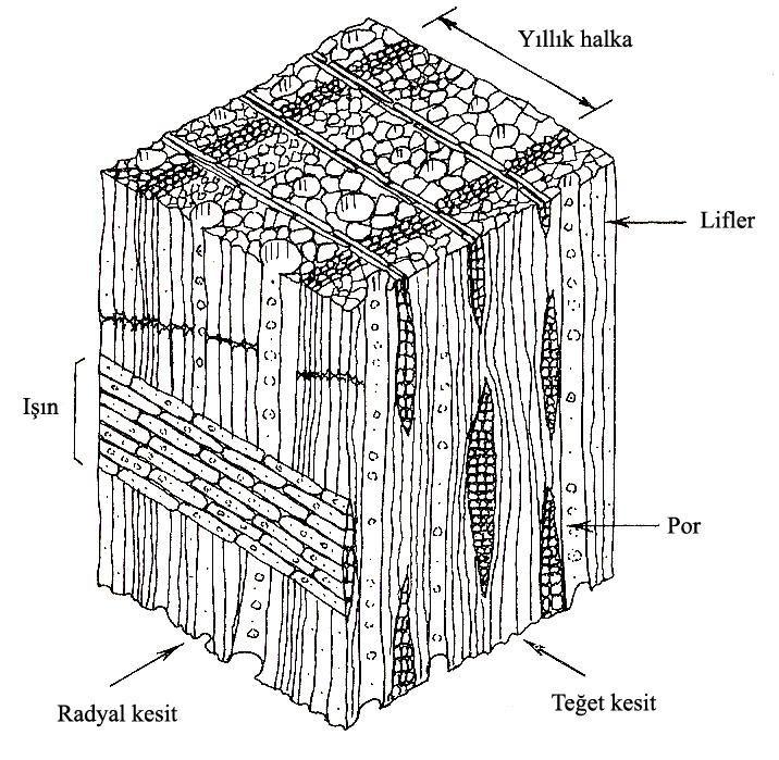 ahşap - geniş yapraklı ağaç hücrelerinin yapısı