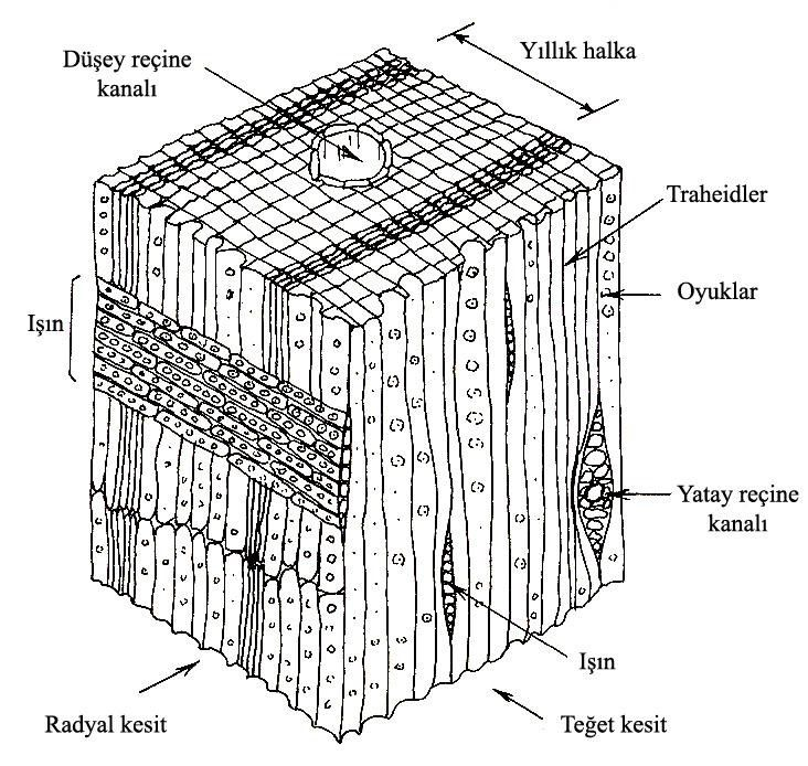 ahşap - iğne yapraklı ağaç hücrelerinin yapısı