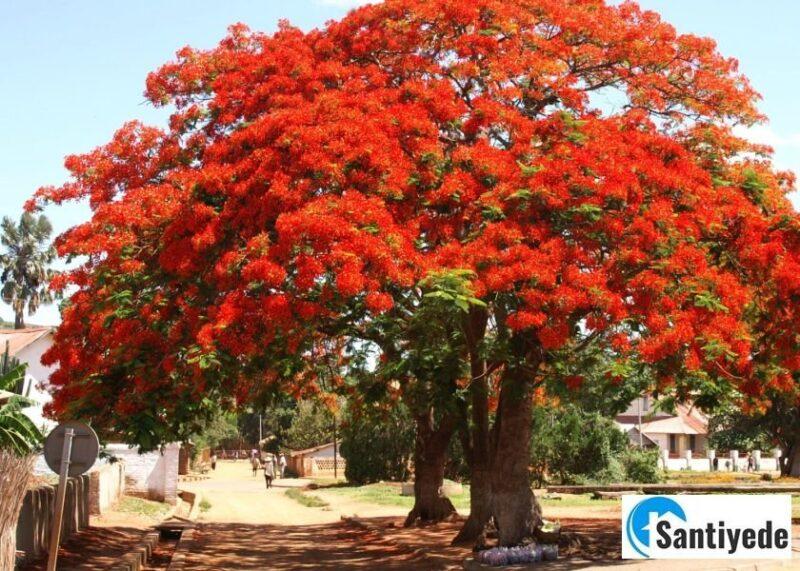 Flamboyant Ağacı