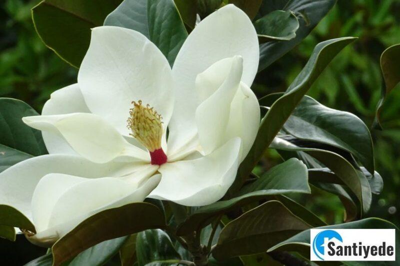 Magnolia Grandiflora kokulu ağaç