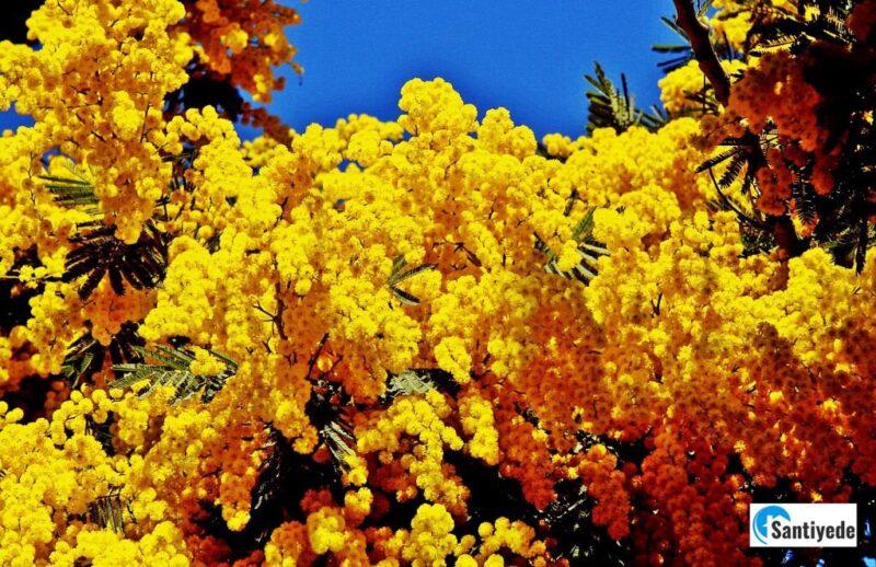 kokulu bahçe ağaçları mimoza