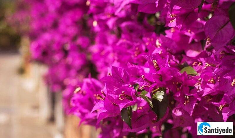 Begonvil - Çiçek açan çalı türleri