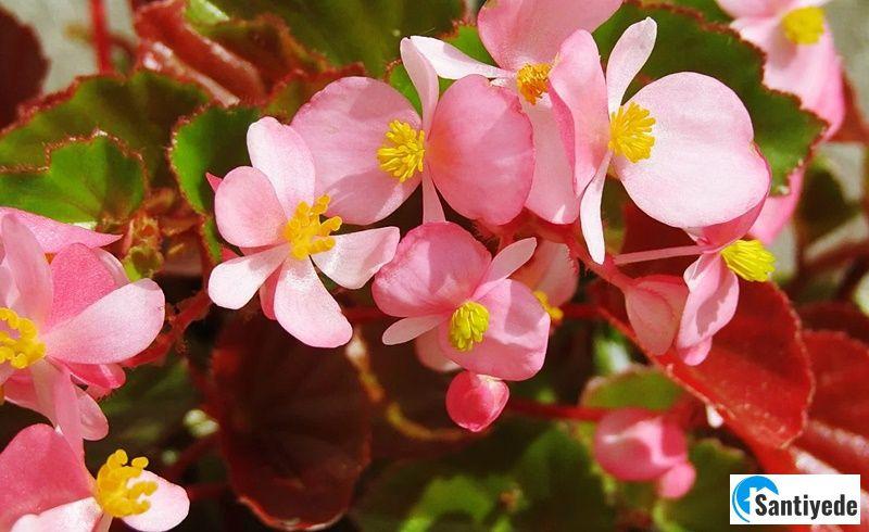 Begonya iç mekan bitki çeşitleri