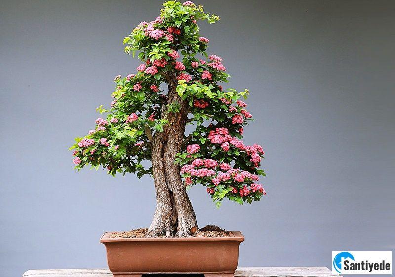 Bonsai iç mekan bitki çeşitleri