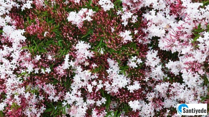 Çiçek Açan Çalı Türleri