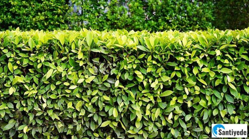 Hızlı Büyüyen Çit Bitkileri Nelerdir?