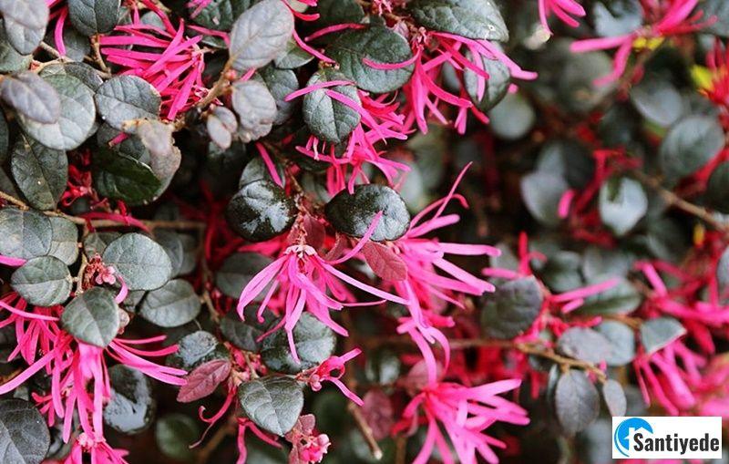 Loropetalum - çiçek açan çalı
