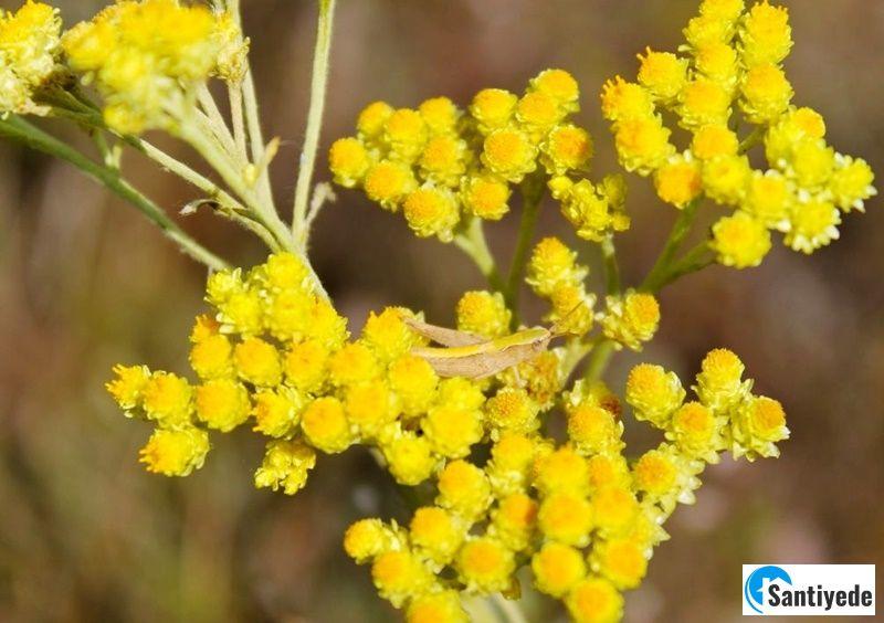 Ölümsüz Çiçek – Altın Çiçeği