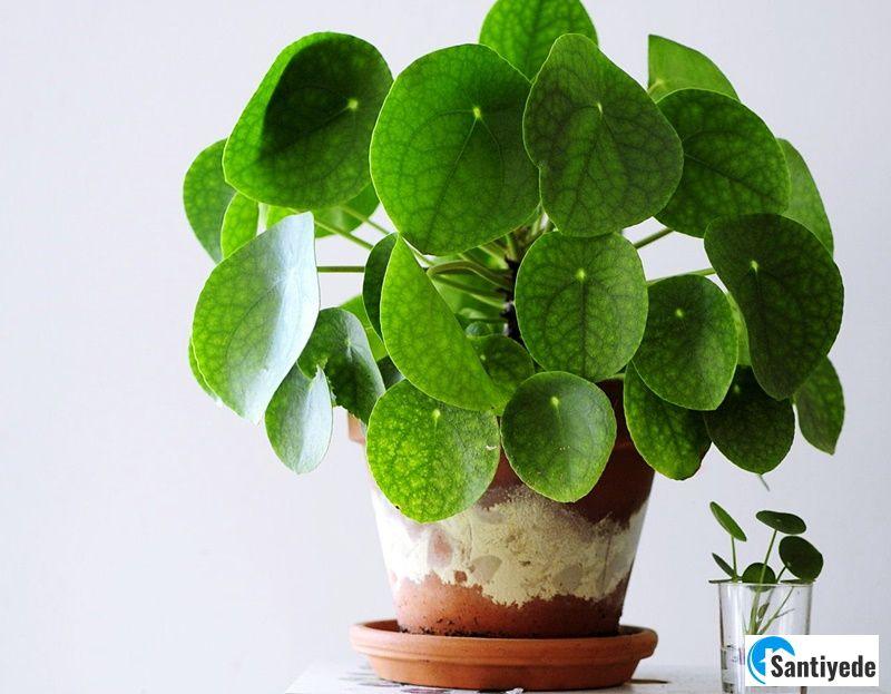 Pilea Bitkisi - İç mekân bitki çeşitleri