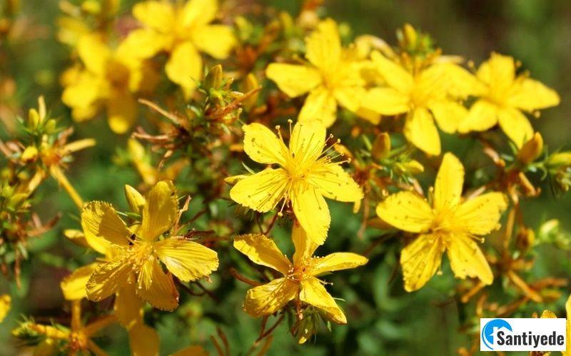 Sarı Kantaron Az Su İsteyen Peyzaj Bitkileri