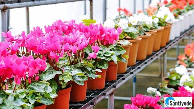 Soğuk Havaya Dayanıklı Çiçekler