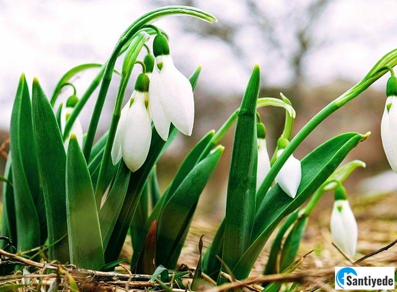 Soğuk havaya dayanıklı çiçek kardelen