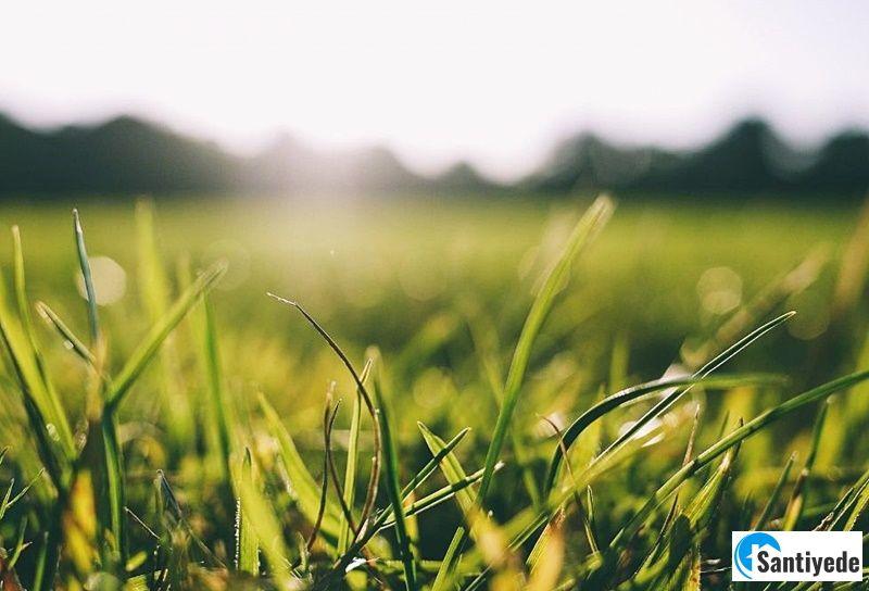 çim bitkileri