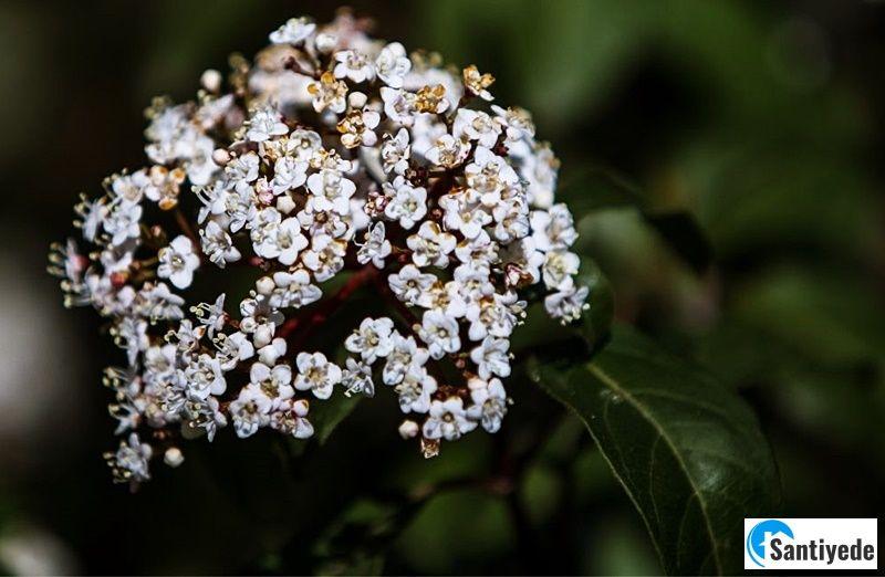 kar topu çiçeği